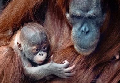 Sameček orangutana ze ZOO Praha se jmenuje podle postavy ze Zeměplochy